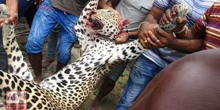 Northern Tamils: Killing an innocent leopard is no way to take revenge on LTTE for losing to the Military
